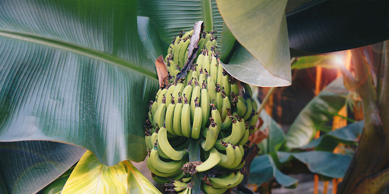 Extraction of banana and plantain fibres